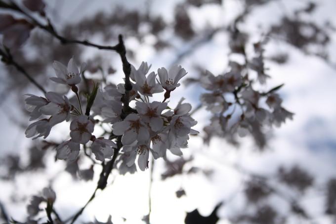 出会いの森オートキャンプ場 桜